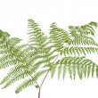 Fern leaf — Stock Photo #4316401