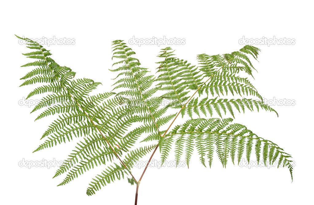 Fern leaf isolated on white background. — Stock Photo #4316401