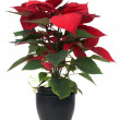 Red poinsettia — Stock Photo #4329803