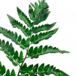 Fern leaf — Stock Photo