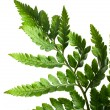 Fern leaf — Stock Photo #5177335