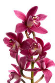 Roze orchid — Stockfoto