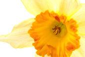 Hyacinth flower — Stock Photo