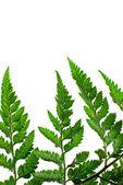 Fern leaf — Stock Photo