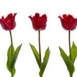 ������, ������: Three red tulips