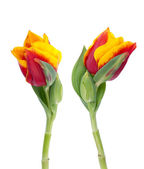 Two yellow and red tulips — Stock Photo