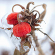 Winter Berries - Lizenzfreies Foto