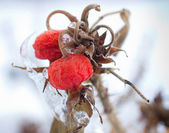 Winter bessen — Stockfoto