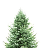 Pine for Christmas — Stockfoto