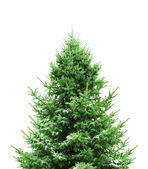 зеленые елки — Стоковое фото