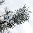 Pine branch in the cold season — Stock Photo