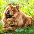 Portrait of dog chow-chow — Stock Photo