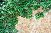 Young branches of ivy — Stock Photo
