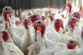 Flock of Turkeys — Stock Photo