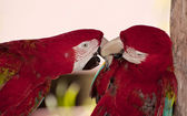 Two colorful parrots. — Stock Photo