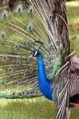 Colorful peacock. — Stock Photo