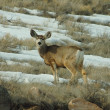 Mule deer — Stock Photo