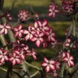Impala lily (Adenium multiflorum) - Stock Photo