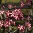 Impala lily (Adenium multiflorum) — Stock Photo