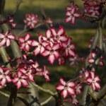 Impala lily (Adenium multiflorum) — Stock Photo