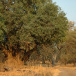 Nyala tree — Stock Photo