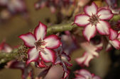 Impala lily (Adenium multiflorum) — Photo