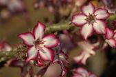 Impala lily (Adenium multiflorum) — Stok fotoğraf
