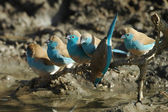 Blue waxbill — Stock Photo