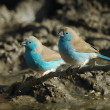Blue waxbill — Stock Photo #4083607