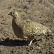 Burchell's sandgrouse — Stock Photo #4085420