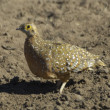 Stock Photo: Burchell's sandgrouse