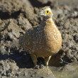 Burchell's sandgrouse — Stock Photo
