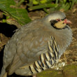 Chukar partridge — Stock Photo