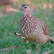 Crested francolin — Stock Photo
