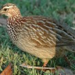 Crested francolin — Stock Photo #4087360