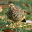 Crested francolin — Stock Photo #4087434