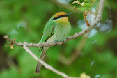 Bohm's bee-eater — Stock Photo