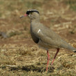 Crowned lapwing — Stock Photo #4090457