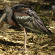 Glossy ibis — Stock Photo #4092175