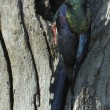 Green wood-hoopoe bringin a snack to the nest — Stock Photo