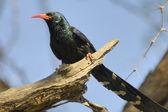Green wood-hoopoe — Stock Photo