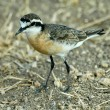 Kittlitz's plover — Stock Photo #4103131