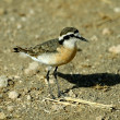 Kittlitz's plover — Stock Photo #4103192