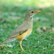 Kurrichane thrush — Stock Photo #4103401