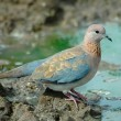 Laughing dove — Stock Photo #4103467