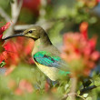 Malachite sunbird feeding on nectar — Stock Photo