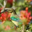 Malachite sunbird feeding on nectar — Stock Photo #4107303