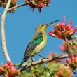Malachite sunbird feeding on nectar — Stock Photo #4107800