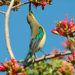 Malachite sunbird — Stock Photo