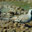 Namaqua dove — Stock Photo